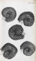 image hooke_micrographia_1665_schem xx