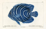 image cuvier g_histoire_poissons_plate 183