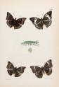 image moore,f_lepidopetera_of_ceylon_pl16_crop