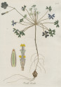 image jacquin_oxalis_plate 8