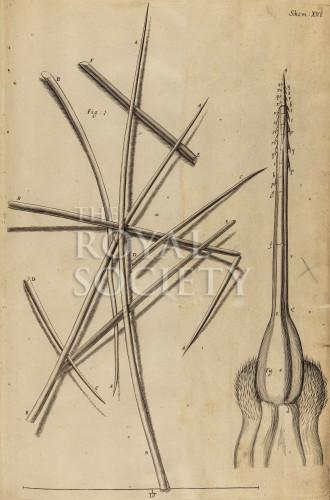 image hooke_r_micrographia_220