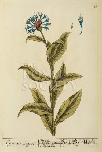 image blackwell, e_herbarium blackwellianium_1750_p66