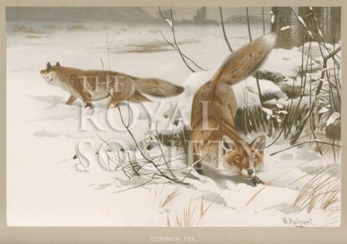 image lydekker r_royal natural history_v1_p557