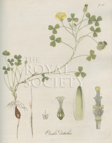 image jacquin_oxalis_plate 18