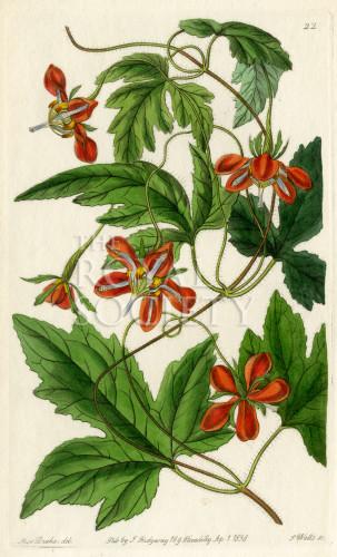 image lindley j_edwardss botanical register_v1_plate 22