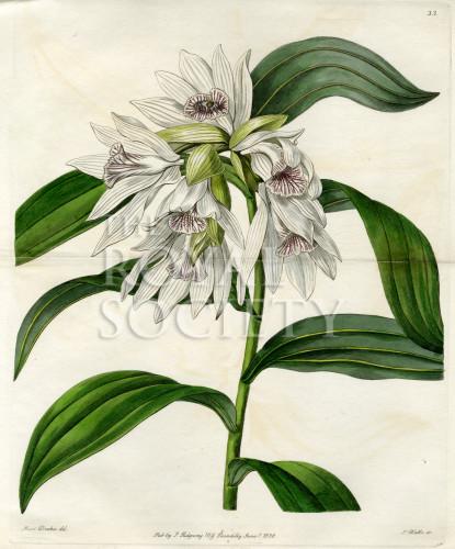 image lindley j_edwardss botanical register_v1_plate 33