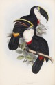 image gould, j_monograph of ramphastidae_1834_culmenated toucan