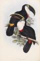 image gould, j_monograph of ramphastidae_1834_culmenated toucan
