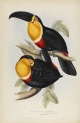 image gould, j_monograph of ramphastidae_1834_ariel toucan_pic