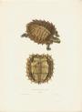 image bell, t_monograph of testudinata_1832_emys spinosa