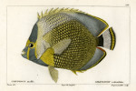 image cuvier g_histoire_poissons_plate 171