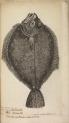 image willughby, f_historia piscium_1686_turbutt_tabf2