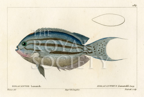 image cuvier g_histoire_poissons_plate 184
