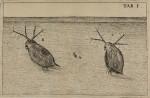 image swammerdam_j_1669_historia_insectorum_plate_1