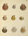 image mendes da costa, e_historia naturalis_1778_pl9