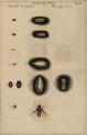 image swammerdam_j_1669_historia_insectorum_plate_11