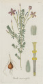 image jacquin_oxalis_plate 9