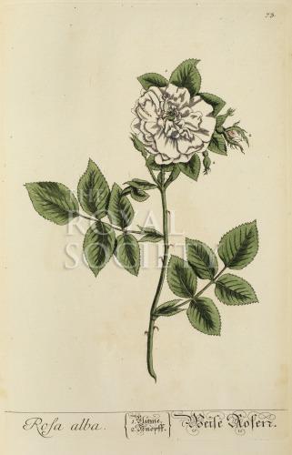 image blackwell, e_herbarium blackwellianium_1750_p73