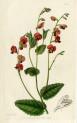 image lindley j_edwardss botanical register_v1_plate 10