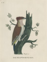 image pennant t_indian zoology_plate 6