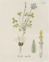 image jacquin_oxalis_plate 19