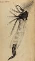 image hooke_r_micrographia_291