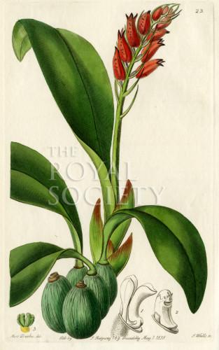 image lindley j_edwardss botanical register_v1_plate 23