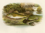 image houghton w_british fresh-water fishes_v1_1879_plate 2