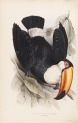 image gould, j_monograph of ramphastidae_1834_toco toucan