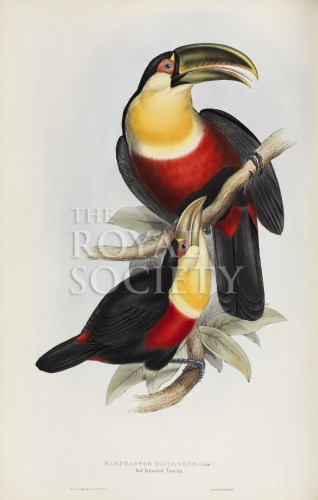 image gould, j_monograph of ramphastidae_1834_red breasted toucan_pic
