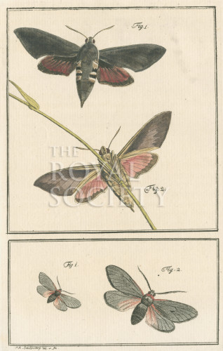 image fuessly_archiv der insect_plate 4