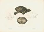 image bell, t_monograph of testudinata_1832_emys tectum