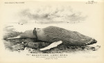 image struthers j_memoir---humpback whale_1889_plate 1
