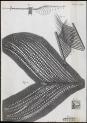 image hooke_micrographia_1665_schem xxii