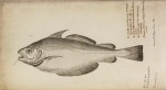 image willughby, f_historia piscium_1686_whiting_tabl1n4
