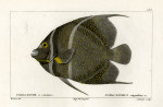 image cuvier g_histoire_poissons_plate 185