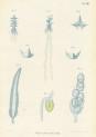 image kolliker a_die schwimmpolypen_1853_plate 8