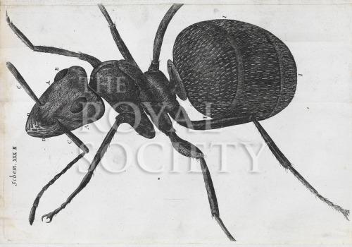 image hooke_micrographia_1665_schem xxxii