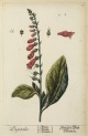 image blackwell, e_herbarium blackwellianium_1750_p16