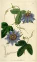 image lindley j_edwards botanical register_v1_frontispiece plate
