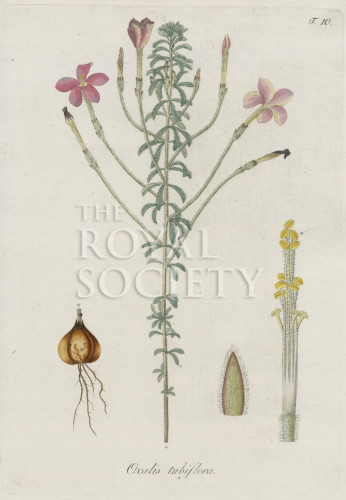 image jacquin_oxalis_plate 10