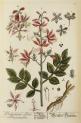 image blackwell, e_herbarium blackwellianium_1750_p75