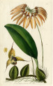 image lindley j_edwardss botanical register_v1_plate 11