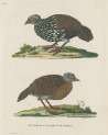 image pennant t_indian zoology_plate 7