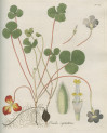 image jacquin_oxalis_plate 20