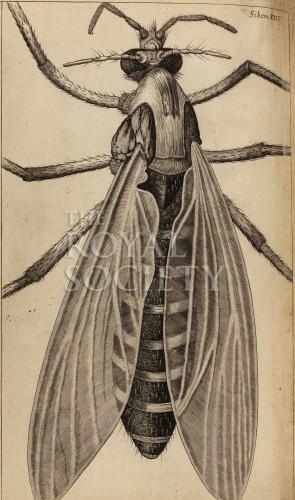 image hooke_r_micrographia_295