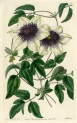 image lindley j_edwardss botanical register_v1_plate 25