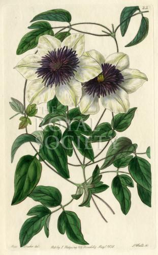 image lindley j_edwardss botanical register_v1_plate 25