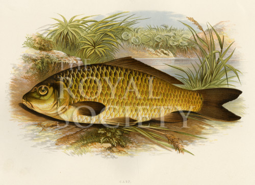 image houghton w_british fresh-water fishes_v1_1879_plate 4