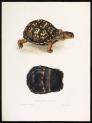 image bell, t_monograph of testudinata_1832_terrapene clausa